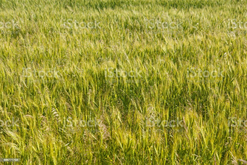 cereal field background stock photo
