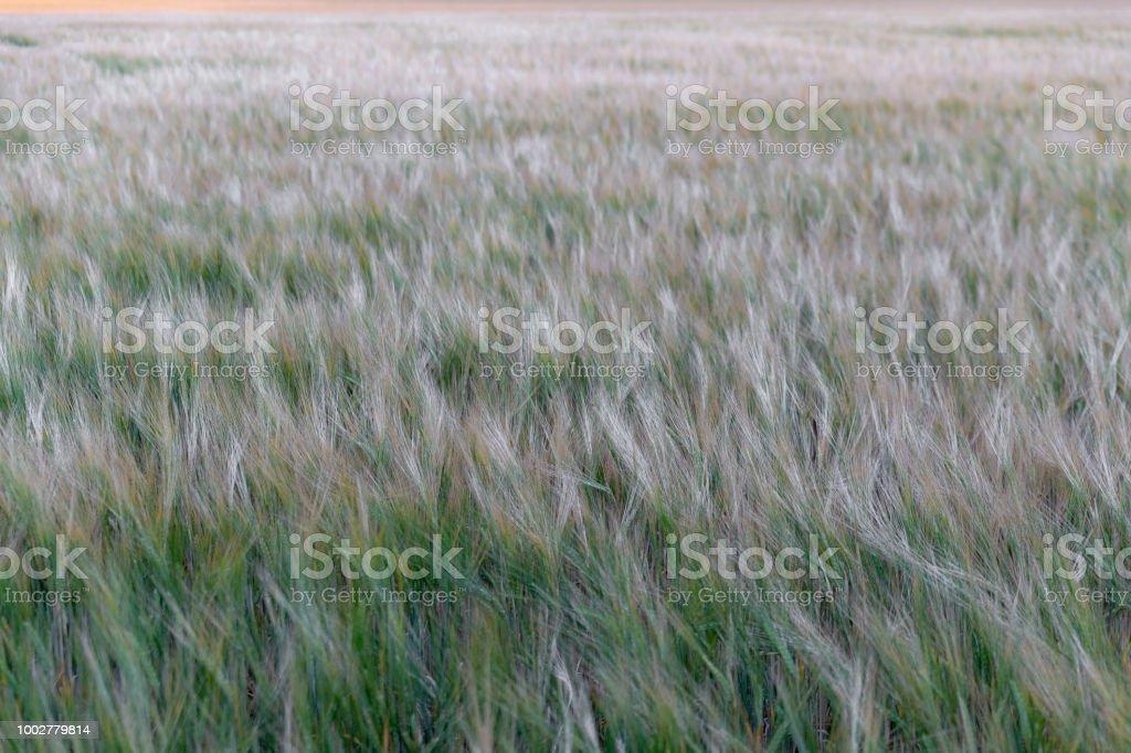 Flingor korn bildbanksfoto