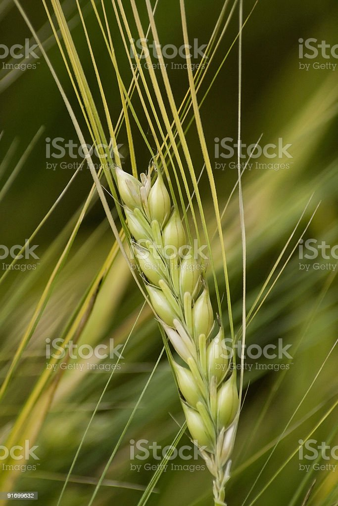 cereal in the summer royalty-free stock photo