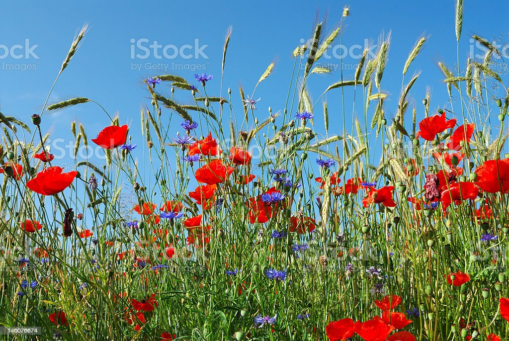 Cereal Rye with flowers and blue sky Agricultural Field Stock Photo