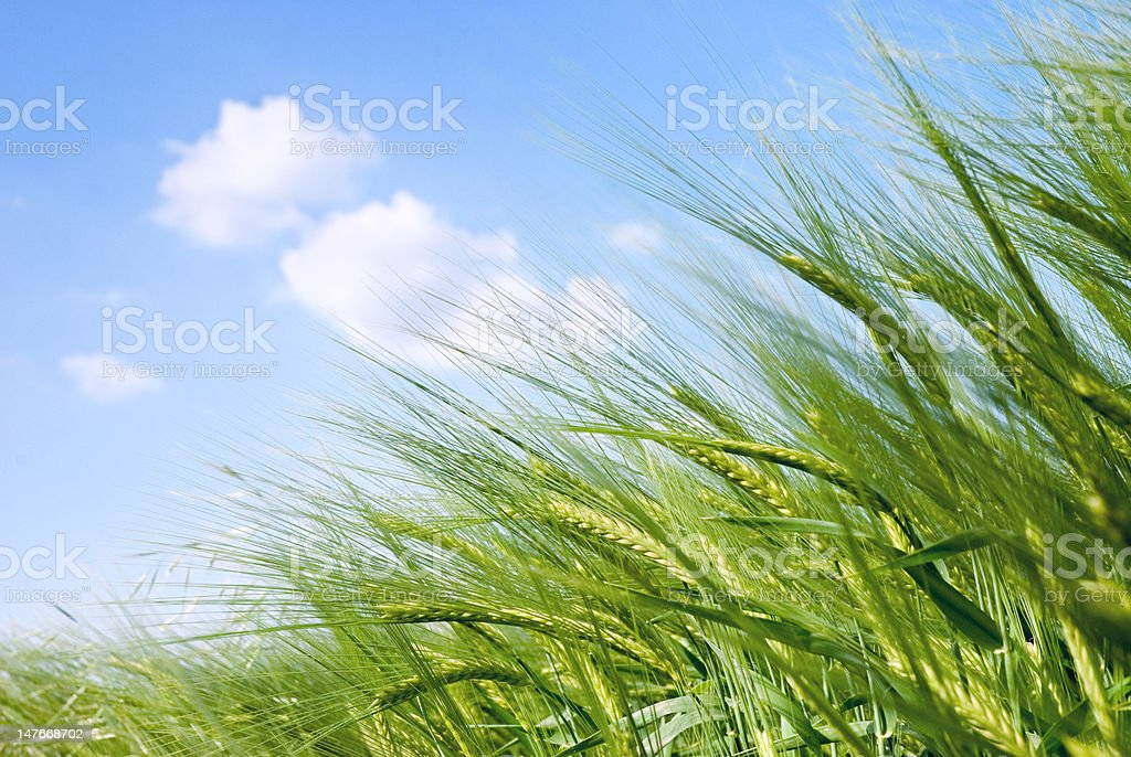cereal spikes in the sun stock photo