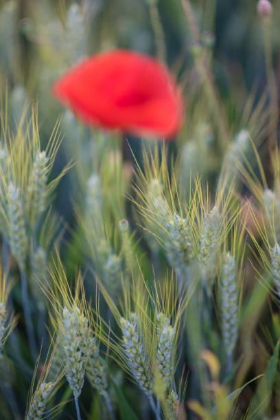 Getreide und Mohn – Foto