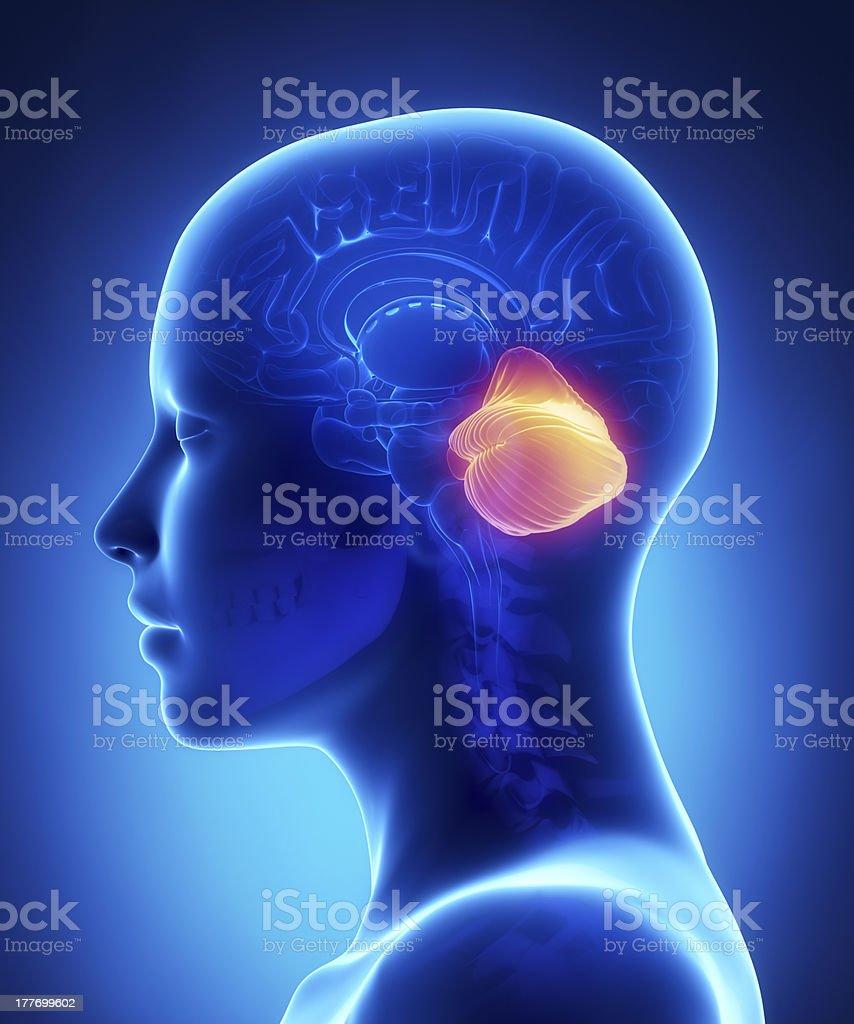 Cerebellum - female brain anatomy lateral view stock photo