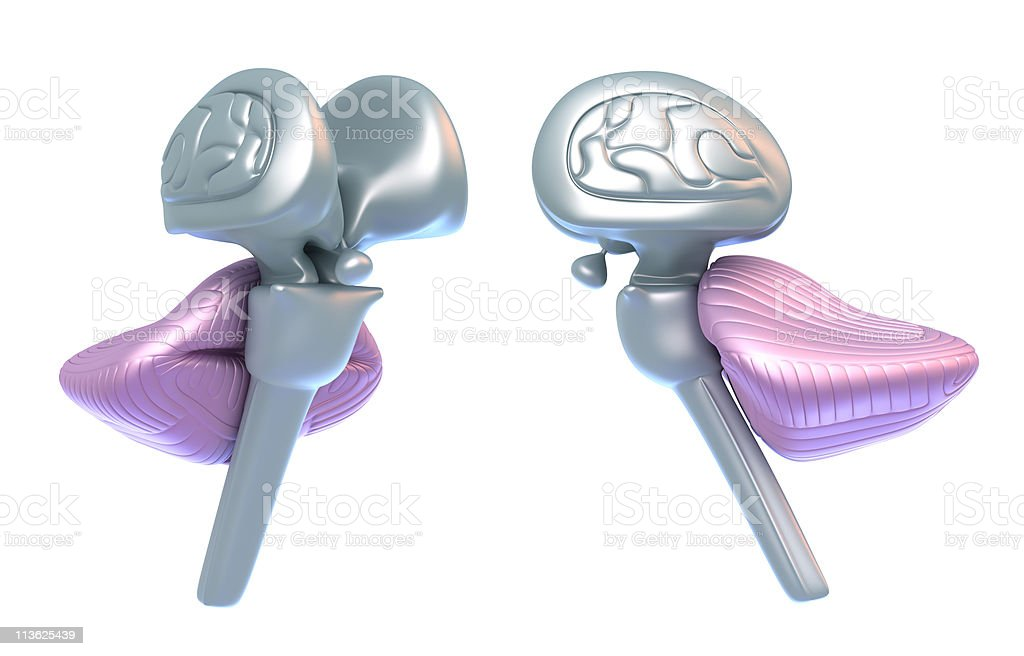 Cerebellum with brain stem royalty-free stock photo
