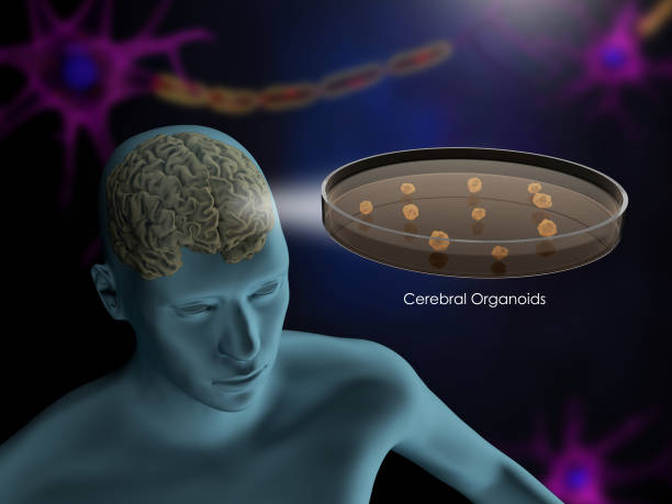 Cerebral organoids stock photo