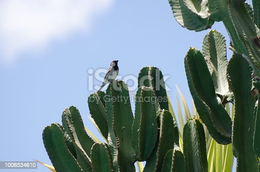 Cereus cactus with a sparrow sitting on one arm