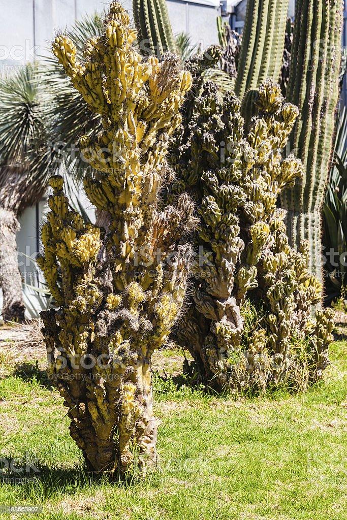 Cereus monstruosus royalty-free stock photo