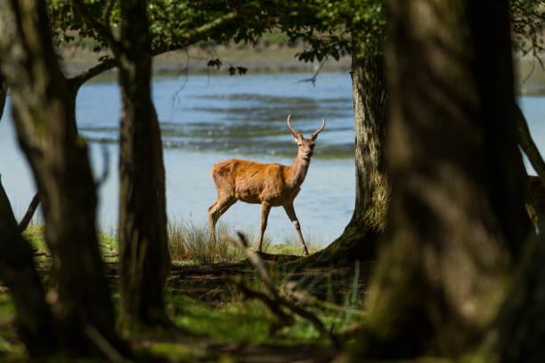Cerf - Deer stock photo