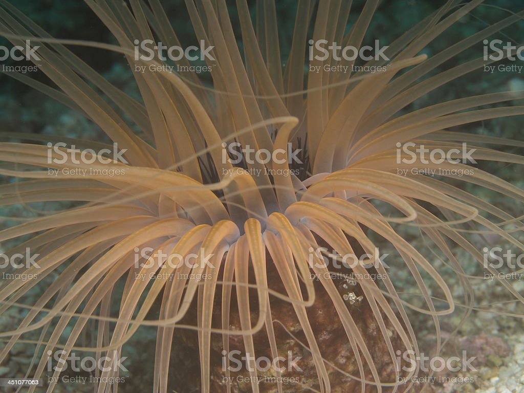 cerianthus species anemone stock photo