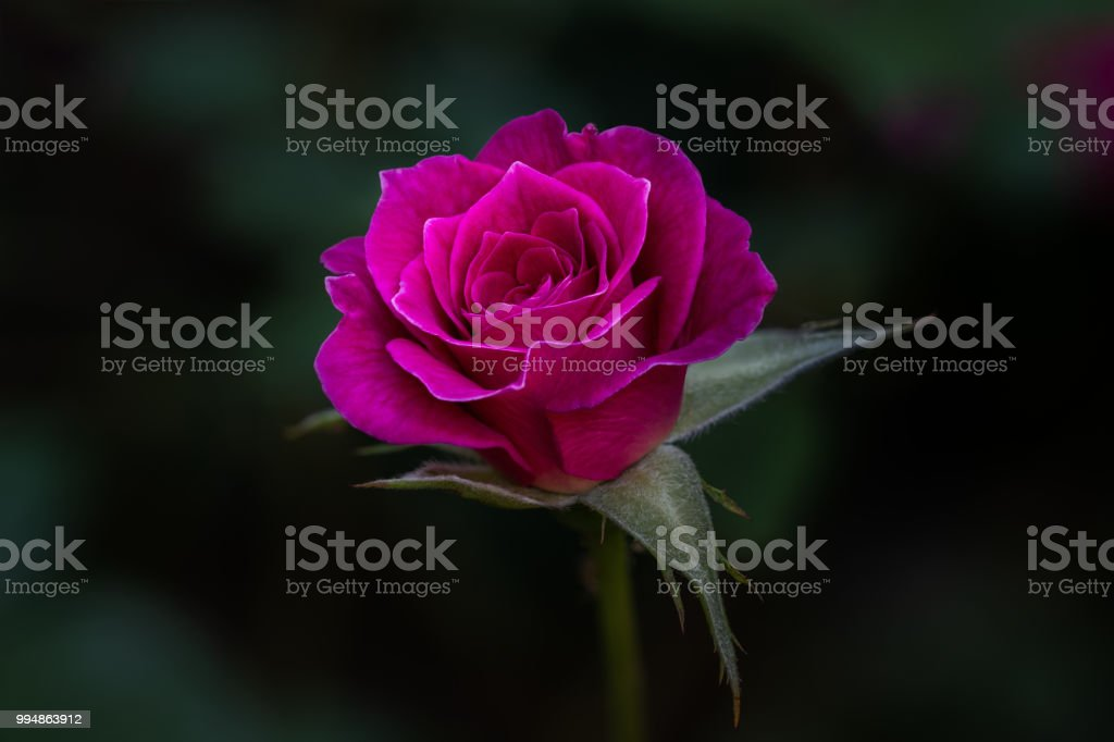 Cerise Rose. stock photo