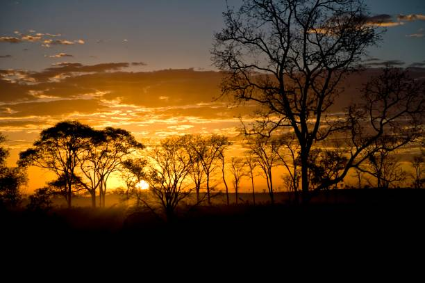 Cerrado trees Cerrado trees in the sunset against the sunlight making a silhouette goias stock pictures, royalty-free photos & images