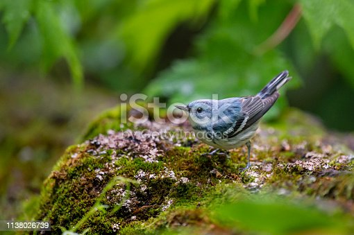 A bright blue Cerulean Warbler perched on a mossy covered log in the bright green forest.