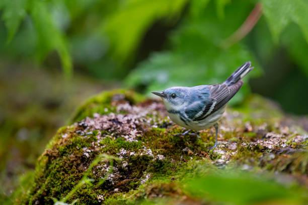 cerulean zanger en mossy log - zanger vogel stockfoto's en -beelden