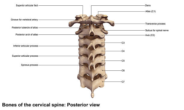 Cervical spine_Posterior view Neck anatomy is a well-engineered structure of bones, nerves, muscles, ligaments and tendons. The cervical spine (neck) is delicate—housing the spinal cord that sends messages from the brain to control all aspects of the body—while also remarkably strong and flexible, allowing movement in all directions. cervical vertebrae stock pictures, royalty-free photos & images