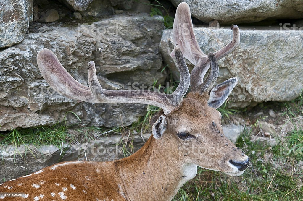 Cervus Elaphus stock photo