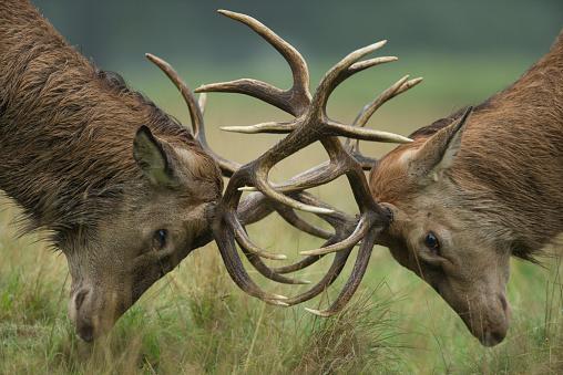 Cervus Elaphus Red Deer Budding Antlers Stock Photo - Download Image Now