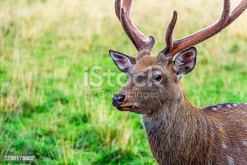 istock Cervus nippon, flower spotted deer walking and feeds on in forest of National Park 1286178902