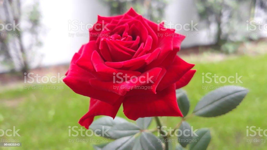 Cerwona Róża royalty-free stock photo