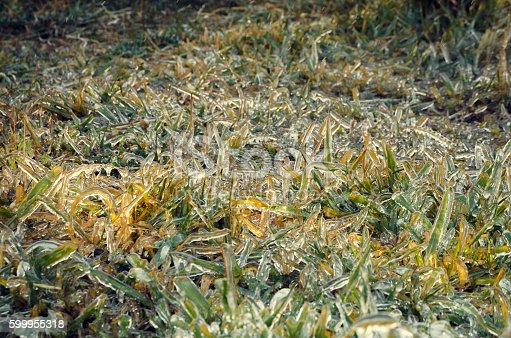639394370istockphoto Cesped conjelado - Grass Frozen 599955318