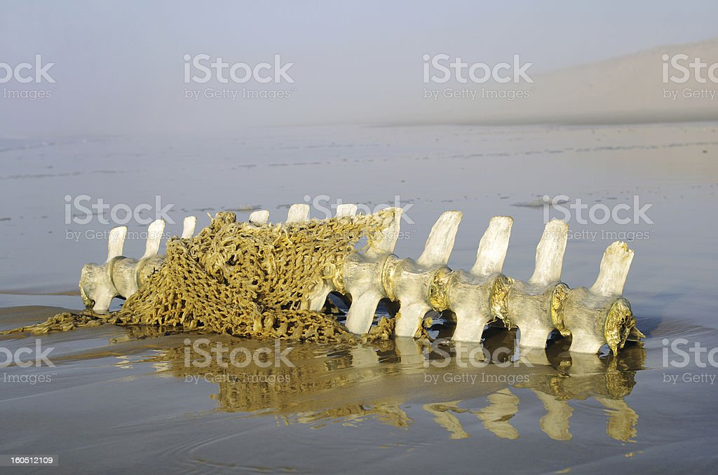 Cetacean skeleton stock photo