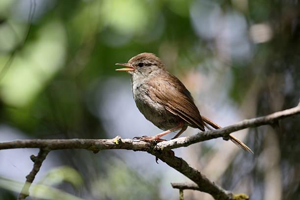 cettis warbler, cettia cetti - zanger vogel stockfoto's en -beelden