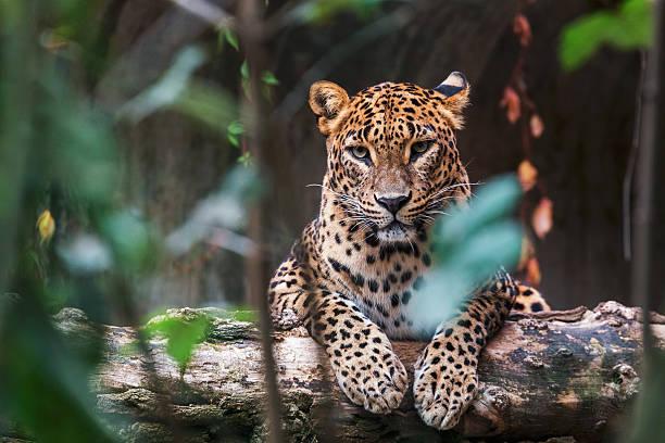 leopardo ceylon sdraiato su un tronco di legno - fauna selvatica foto e immagini stock