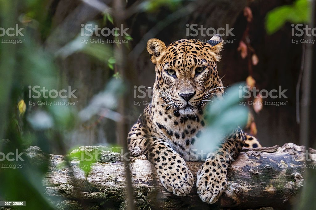 Ceylon leopard lying on a wooden log stock photo