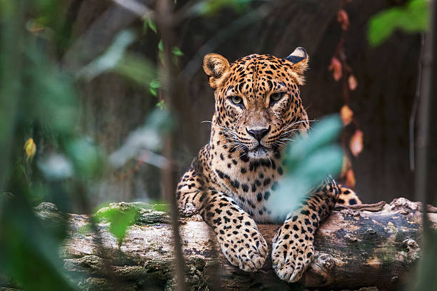 ceylon leopard lying on a wooden log - animals in the wild stock pictures, royalty-free photos & images