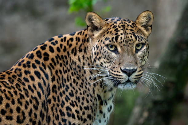 Ceylon-Leopard, Panthera Pardus Kotiya, Big spotted Cat – Foto