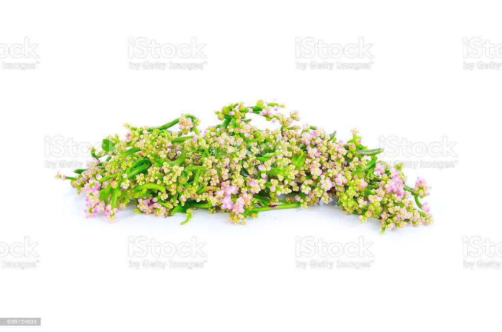Ceylon Spinach isolated on white background stock photo