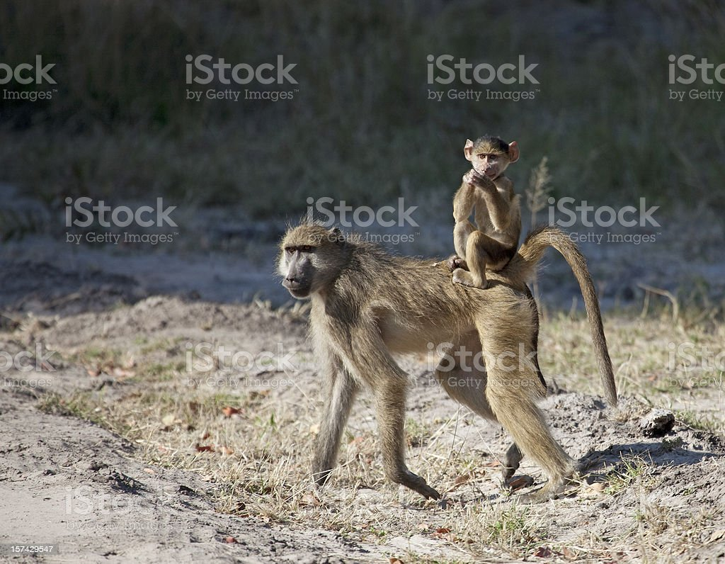Chacma Baboon baby riding jockey style stock photo