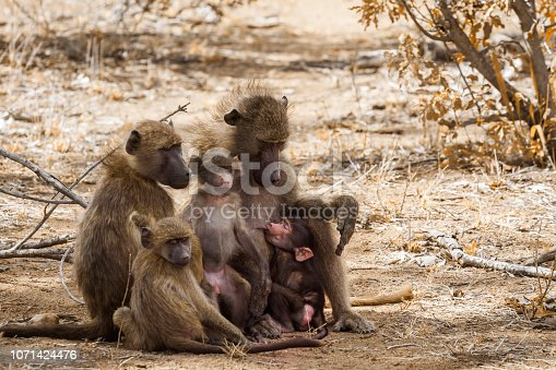 Chacma baboon family with babies in Kruger National park, South Africa ; Specie Papio ursinus family of Cercopithecidae