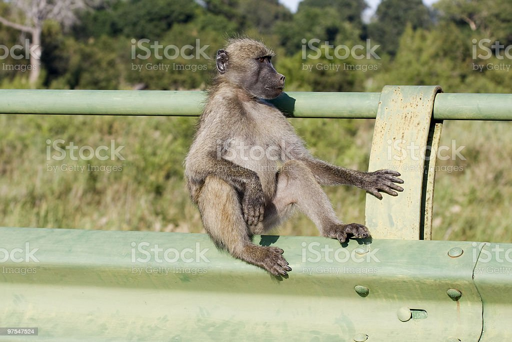 Chacma Baboon in Kruger Park, South Africa royalty-free stock photo