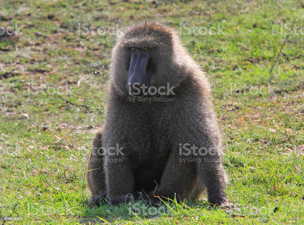 Chacma Baboon resting on the grass in Kenya stock photo