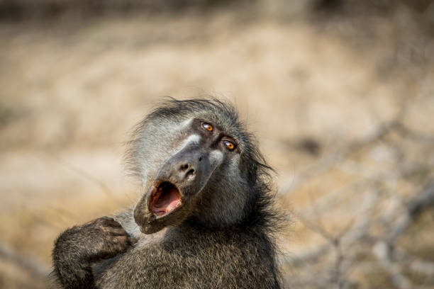 Chacma baboon yawning in the Kruger. stock photo