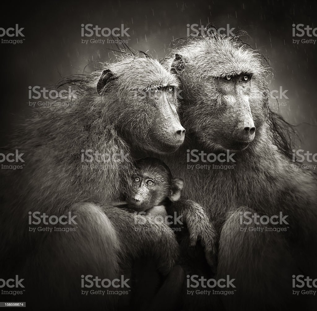 Chacma baboons 아기용 레인 royalty-free 스톡 사진