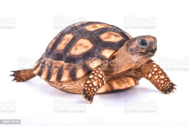 Chaco tortoise chelonoidis chilensis picture id680019754?b=1&k=6&m=680019754&s=612x612&h=4kagoww6pz6yfo6klhpkgg7ghlbrv5bwsdtrkh0cmvu=