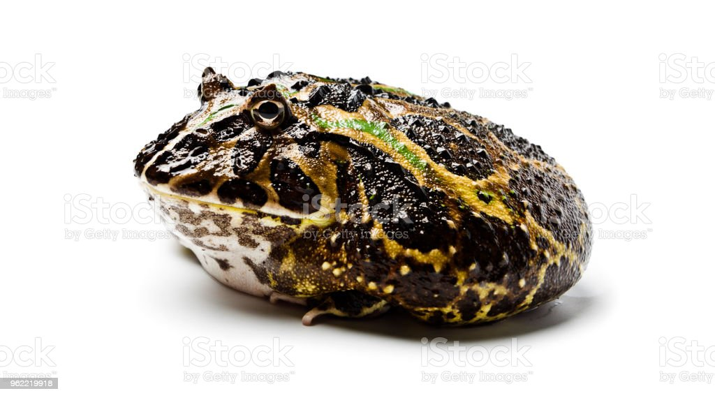 Chacoan horned frog. Chacoan horned frog on white background, amphibians closeup isolated. Ornate frog. stock photo