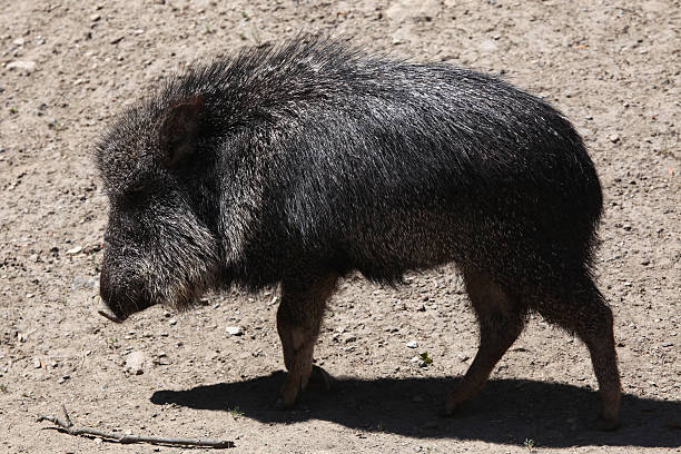 Chacoan peccary (Catagonus wagneri), also known as the tagua. Chacoan peccary (Catagonus wagneri), also known as the tagua. Wild life animal. javelina stock pictures, royalty-free photos & images