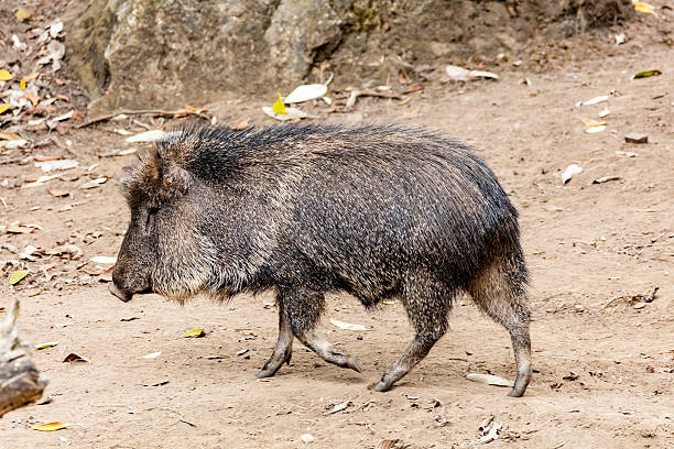 Chacoan peccary (Catagonus wagneri), also known as the tagua Peccary, Nature, Animal Wildlife, Horizontal, The Americas javelina stock pictures, royalty-free photos & images