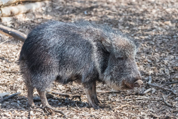 Chacoan Peccary Chacoan Peccary, Catagonus wagneri, funny animal javelina stock pictures, royalty-free photos & images