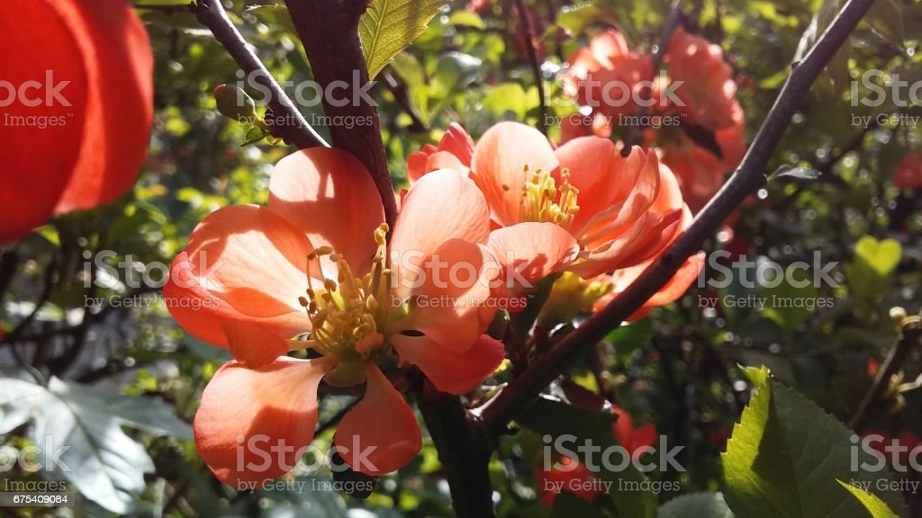 Chaenomeles Japonica (Maule's Quince or Japanese Quince) Blossoming in Shakespeare Garden in Spring in Central Park in Manhattan, New York, NY. photo libre de droits