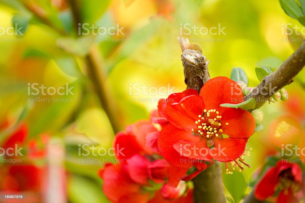 Chaenomeles maulei. royalty-free stock photo