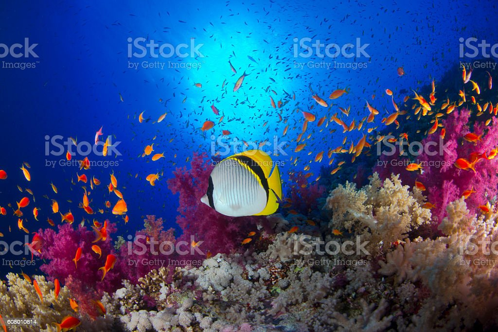 Chaetodon lineolatus stock photo