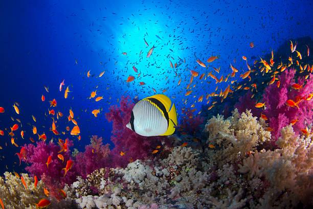 chaetodon lineolatus - coral and mauve stock-fotos und bilder