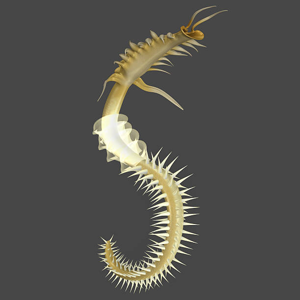 Chaetopterus Chaetopterus or the parchment worm or parchment tube worm is a genus of marine polychaete worm that lives in a tube it constructs in sediments or attaches to a rocky or coral reef substrate. bristle worm stock pictures, royalty-free photos & images