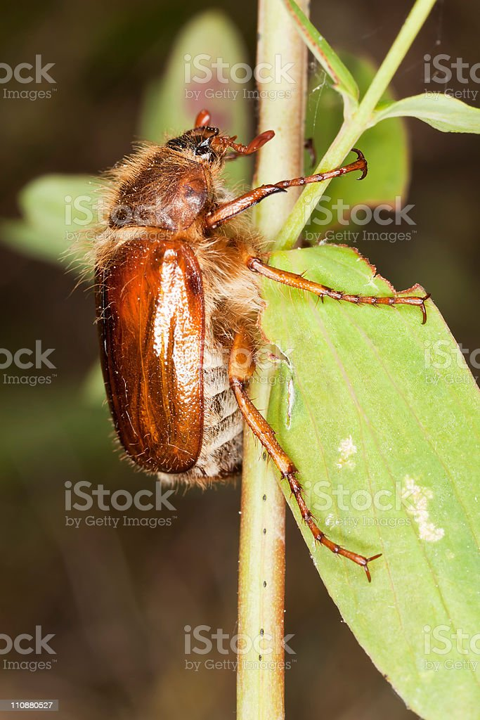 Chafer beetle (amphimallon falleni) sitting on stem royalty-free stock photo