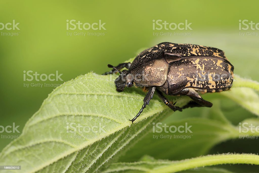 chafer royalty-free stock photo