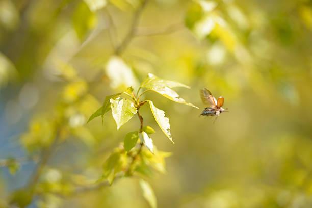 Cтоковое фото Chafer (мая жук) Весна в полете от филиала