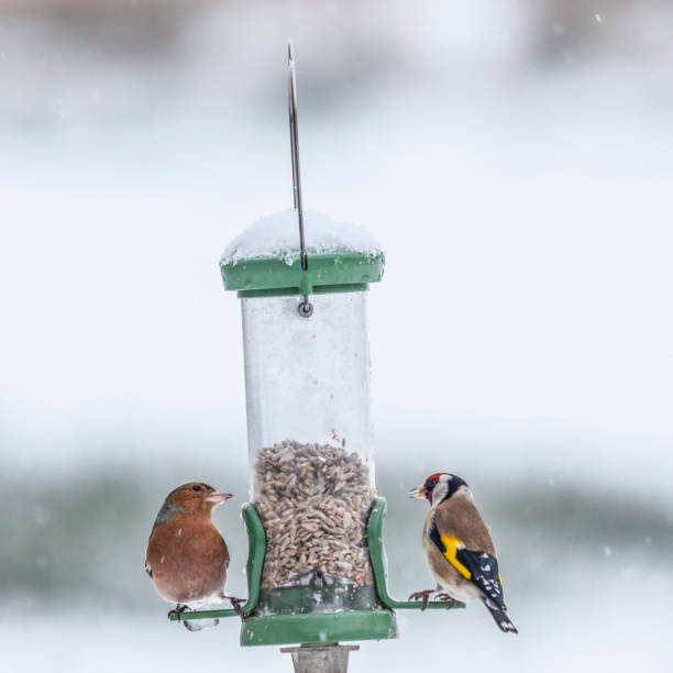 A Chaffinch and a Goldfinch on a bird feeder on a snowy winter day